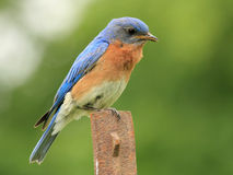 Male Eastern Bluebird - Ontario, Canada Royalty Free Stock Image