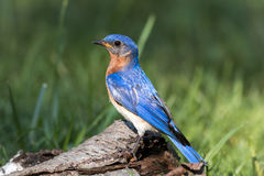 Male Eastern Bluebird perched on birch with feathers shining vividly in the morning sunlight Stock Photo