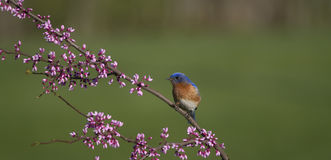 Male Eastern Bluebird Perched in Flowers Stock Photos