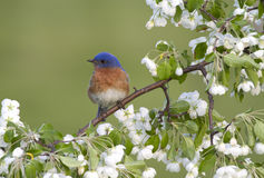 Male Eastern Bluebird Perched in Flowers Stock Photo