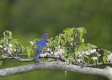 Male eastern bluebird perched in pink flowers Stock Photo