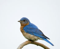 Male Eastern Bluebird (Sialia sialis). Male Eastern Bluebird perching on a weeping cherry tree Royalty Free Stock Images