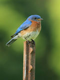 Male Eastern Bluebird (Sialia sialis). Sitting on a rusted fence post - Ontario, Canada Stock Image
