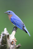 Male Eastern Bluebird (Sialia sialis). On a stump with a green background Stock Photo