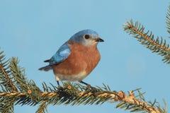 Male Eastern Bluebird Royalty Free Stock Photo
