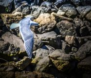 Male eastern bluebird Sialia sialis in flight over rocky surface royalty free stock photos