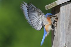 Male Eastern Bluebird. (Sialia sialis) in flight to a nest Royalty Free Stock Image