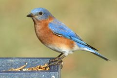 Male Eastern Bluebird Sialia sialis. On a mealworm feeder Stock Photo