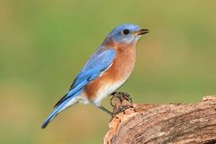 Male Eastern Bluebird Stock Photo