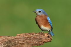 Male Eastern Bluebird Royalty Free Stock Image