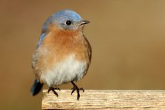 Male Eastern Bluebird Royalty Free Stock Photography