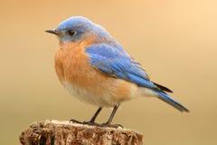 Male Eastern Bluebird Stock Image