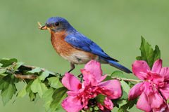 Male Eastern Bluebird Royalty Free Stock Image