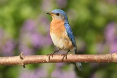 Male Eastern Bluebird Royalty Free Stock Images