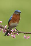 Male Eastern Bluebird Royalty Free Stock Photo