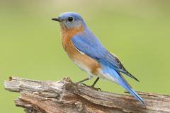 Male Eastern Bluebird Sialia sialis. On a perch with a green background Royalty Free Stock Photography