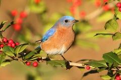Male Eastern Bluebird Royalty Free Stock Photos