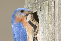 Male Eastern Bluebird Stock Images