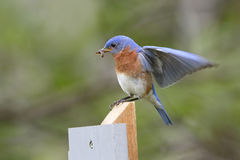 Male Eastern Bluebird with a Sider in its Beak Stock Photo