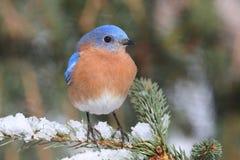 Male Eastern Bluebird in Snow Stock Photos