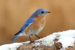 Male Eastern Bluebird in Snow Stock Photography