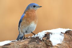 Male Eastern Bluebird in Snow Royalty Free Stock Photography