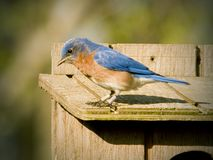 Male Eastern Bluebird in the Spring Stock Photos