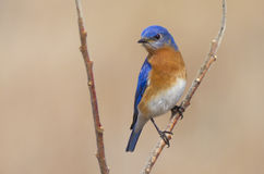 Male Eastern Bluebird in the Springtime Air