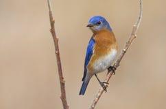 Male Eastern Bluebird in the Springtime Air Royalty Free Stock Photos