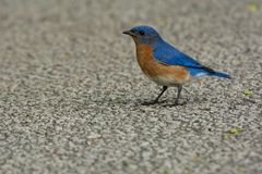 Eastern Bluebird - Sialia sialis. Male Eastern Bluebird standing on a paved path. Ashbridges Bay Park, Toronto, Ontario, Canada Stock Image