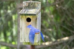 Male Bluebird Leaving a Nesting Box