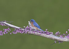 Male Eastern Bluebird in tiny Pink Blossoms Stock Photos