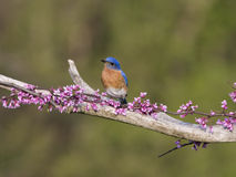 Male Eastern Bluebird in tiny Pink Blossoms Royalty Free Stock Photo