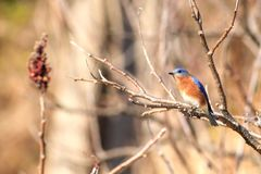 Male Eastern Bluebird. The Eastern bluebird was once almost eliminated in the Carolina`s due to the lack of nesting cavities. Birder stated putting up bird boxes royalty free stock images