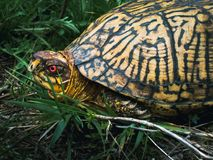Male Eastern Box Turtle Side Profile stock photos