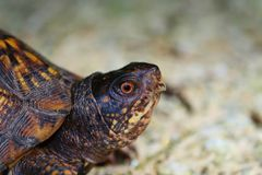 Side view of head of male Eastern Box turtle. Male Eastern Box turtle side view of head. Male omnivore. Curious stock images