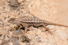 Male Eastern Fence Lizard Royalty Free Stock Images