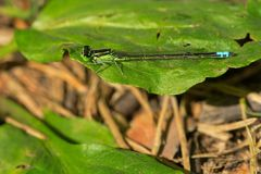 Eastern Forktail Damselfly - Ischnura verticalis. Male Eastern Forktail Damselfly resting on a leaf. High Park, Toronto, Ontario, Canada Royalty Free Stock Image