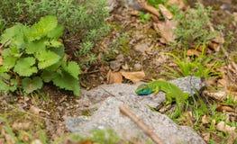 Male Eastern Green Lizard basking on a rock Royalty Free Stock Photo