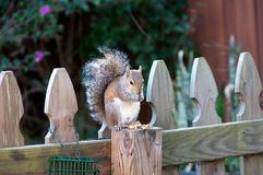 Male eastern grey squirrel eating corn Royalty Free Stock Photography