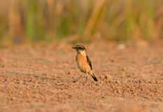 Male Eastern Stonechat (Saxicola stejnegeri) Royalty Free Stock Photography