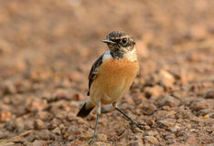 Male Eastern Stonechat (Saxicola stejnegeri) Royalty Free Stock Images