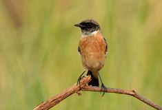 Male Eastern Stonechat Saxicola stejnegeri Royalty Free Stock Images