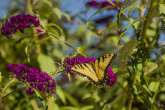 Male Eastern Tiger Swallowtail. This beautiful fellow and black striped and spotted butterfly feeding on a bright magenta pink flower amongst the green leaves Royalty Free Stock Photos