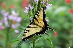 Male Eastern Tiger Swallowtail butterfly. On flowers. They are strong fliers, soaring high in trees, fluttering and pursuing nectar in gardens, fields and Royalty Free Stock Images