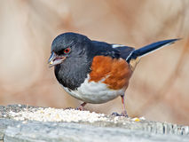 Male Eastern Towhee on post. Stock Photography