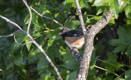 Eastern Towhee bird, Walton County, Georgia USA. Male Eastern Towhee songbird, Pipilo erythrophthalmus, perched in Sweetgum Tree. Summer wildlife and birding royalty free stock photography