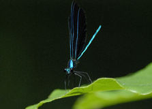 Male Ebony Jewelwing Damselfly. On a green leaf in morning light Royalty Free Stock Photo