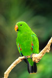 Male Eclectus Parrot. A colorful male eclectus parrot perched on a branch Royalty Free Stock Photography
