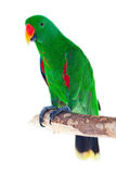 Male eclectus parrot Stock Photo
